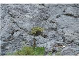 Katera rožca je to?V skalah vidim že skoraj odcveteli gorski vrednik.