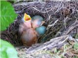 Hranjenje pticKosa stara 1 dan