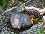 Hranjenje pticKosa stara 4 dni