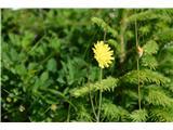 Katera rožca je to?Dolgodlakava škržolica-je precej nizka in izstopa s svojo svetlo rumeno barvo.