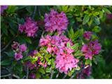 Katera rožca je to?Rjasti sleč-Rododendron ferrugineum.