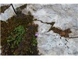 Katera rožca je to?Skoraj na vrhu Mangarta sem opazil komaj cvetoči nasprotnolistni kamnokreč.
