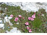 Katera rožca je to?Triglavska roža.