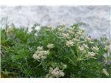 Katera rožca je to?Alpska jelenka -Athamanta cretensis.
