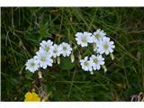 Katera rožca je to?Mislim, da je kar alpska smiljka -Cerastum alpinum, koroška ima drugačno rast.