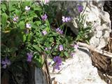 Katera rožca je to?Zanimiv je ta s Hrvaške z Velebita -rani repnjak, ki je modro obarvan.Pri nas ga nisem nikoli našel.