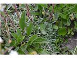 Katera rožca je to?Skorjastega prepoznamo po teh listih.