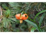 Katera rožca je to?Kranjska lilija-bolj ta zadnja.