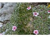 Katera rožca je to?Skoraj edino rastišče triglavskih rož.