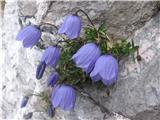 Katera rožca je to?Trebušasta -lepo se vidi kako sta po cvetju različni.