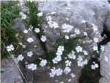 Katera rožca je to?To je tvoja planinska lepnica ali slanozor.