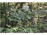 Katera rožca je to?Ob cesti raste mogočna kobulnica .To je navadni gozdni koren(po domače angelika)-Angelica sylvestris.