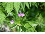 Katera rožca je to?Vrbovec-ne vem kateri.Mislim, da gre kar za alpski vrbovec-Epilobium anagalidifolium.