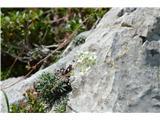 Katera rožca je to?Na samo botanični poti srečamo tri vrste kamnokreča -to je skorjasti kamnokreč-nekako naš najpogostejši kamnokreč.