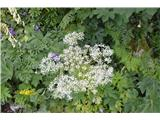 Katera rožca je to?Avstrijska obočnica -trenutno je najbolj opazna kobulnica na botanični poti in tudi višje.