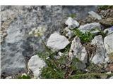 Katera rožca je to?Najmanjša kobulnica je alpska jelenka.