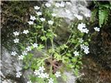 Katera rožca je to?Tako raste skalni kamnokreč iz Bavšice-rabi senco.
