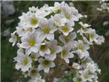 Katera rožca je to?Hostov kamnokreč-To je ena podvrsta -Saxifraga hostii subsp. rhaetica.