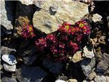 Katera rožca je to?Pa dvocvetnega iz Visokih Tur-Saxifraga biflora.