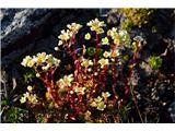 Katera rožca je to?Zanimiva je ta podvrsta grozdastega kamnokreča iz Visokih Tur-moram ju poiskati priročniku Flora Alpina.