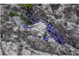 Katera rožca je to?Te so v skali skoraj pod vrhom gore.