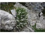Katera rožca je to?tudi tale skalnat šopek je pritegnil pogled, čeprav so cvetovi tako majhni.
