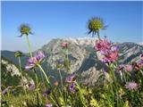 Tolminski Kukna Pl.kal, pogled skozi rože proti goram nad Tolminko