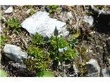 Katera rožca je to?Takoj pri začetku hoje od koče sem opazil to nežno rastlino. To je nežni sviščevec-Gentianella tenella.Pri na sge še nisem videl.