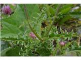 Katera rožca je to?Ta je zelo bodeč, videl sem tudi debelolistnega in morda še kako vrsto.