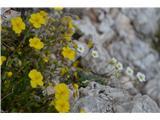 Katera rožca je to?Planinski popon in malo skrit nasršeni kamnokreč.