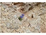 Katera rožca je to?Sieberjev repuš. ta nas je dejansko skozi spremljal v skalah.