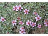 Katera rožca je to?Preplezali smo ferato in sedaj se nam na lažji poti do vrha gore odkriva drugo cvetje .Polno je triglavske rože.