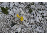 Katera rožca je to?Po meliščih ga vse rumeno.