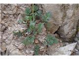 Katera rožca je to?Pri določanju ali je retijski ali petkovškov nam listi ne povedo dosti.