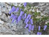 Katera rožca je to?Že na začetku varovane poti za na Ledine pa v skalah opazimo blazinice zoisove zvončice.