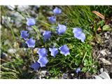 Katera rožca je to?Od Ledin napre jpa je polno trebušaste zvončice,videl sem tudi meliščno,witasekino in scheuchzerjevo.