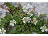 Katera rožca je to?Clusijev petoprstnik, videl sem tudi zlatega.