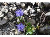 Katera rožca je to?Sieberjev repuš, takoj za kočo na Ledinah je tudi glavičasti repuš,goli lepen.