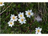 Katera rožca je to?Alpska velesa, videl sem tudi brezstebelno lepnico.