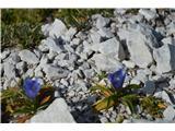 Katera rožca je to?Na Jezerskem sedlu in prav na vrhu cveti froelichov svišč-žal je slikca  nejasna.