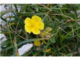 Katera rožca je to?Popon ali sončece-planinski ni, ker je imel večje cvetove.Lahko izbiramo med jajčastim in predalpskim,pa ne bomo dosti zgrešili.
