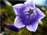 Katera rožca je to?scheuchzerjeva zvončica (njeno srce)