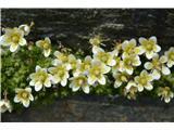 Katera rožca je to?Mahovnati kamnokreč-Saxifraga bryoides-ne vem, če raste pri nas.Določila  Alenka Mihorič.