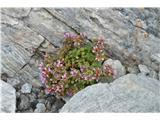 Katera rožca je to?Dvocvetni kamnokreč-Saxifraga biflora-pri nas ne raste.