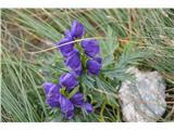 Katera rožca je to?Vsekakor preobjeda -bilo jo je veliko.Je majhne rasti in ima močno vijolično barvo.