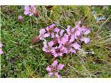 Katera rožca je to?Nizka milnica -Saponaria pomilio-pri nas ne raste.