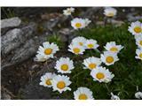 Katera rožca je to?Alpska ivanščica -Leucanthemopsis alpina -pri nas ne raste.