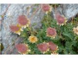 Katera rožca je to?Lučke plazeče sretene-cvetje smo zamudili.