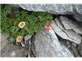Katera rožca je to?Ledeniška zlatica -ranuncukus glacialis-pri nas ne raste.