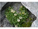 Katera rožca je to?Katančevolistna penuša-Cardamine resedifolia-pri nas jo nisem še našel.